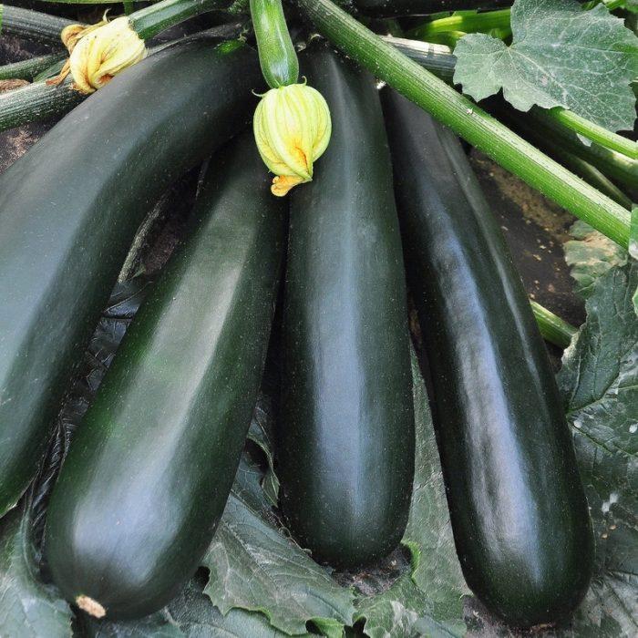 Плоды черного кабачка на кусте