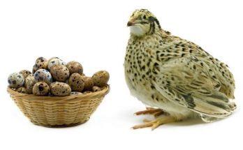 Перепела яичной породы