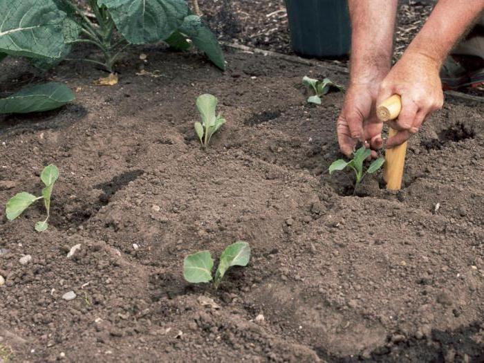 Высадка брокколи в открытый грунт