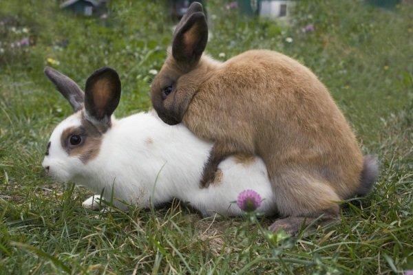 Случка кроликов
