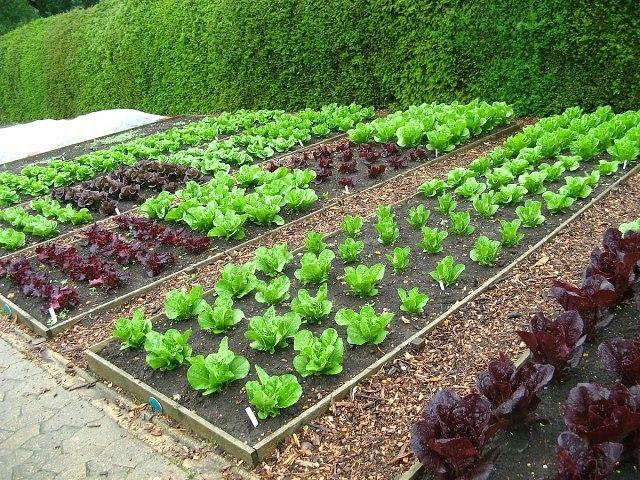 Соль, сахар, чеснок и кефир заменят химию на огороде