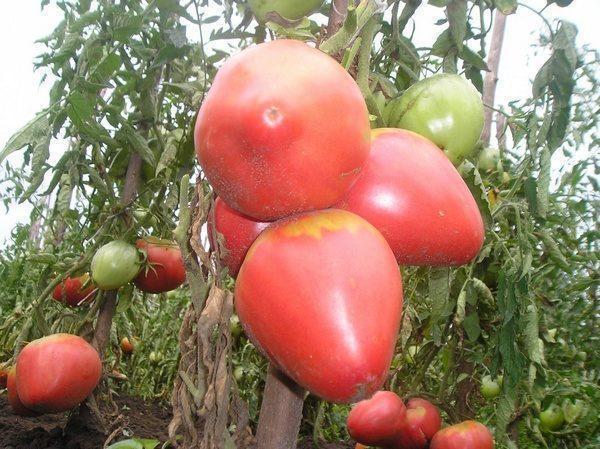 Выращивание помидоров Алсу