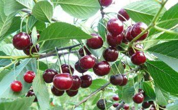 Урожай вишни шоколадницы