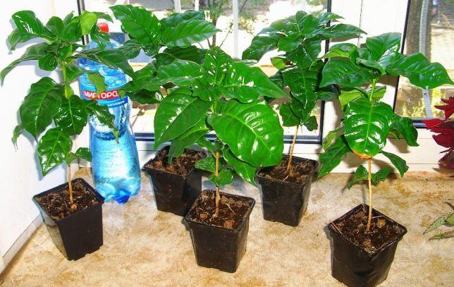 Кофейное дерево комнатное растение