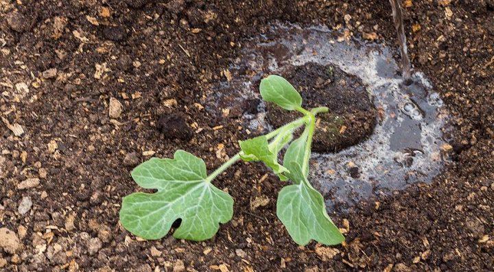 Выращивание и пересадка рассады арбузов