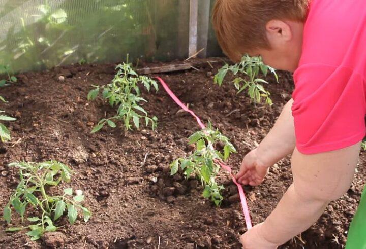 На каком расстоянии сажать томаты в теплице