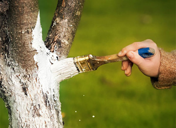 Осенняя побелка стволов деревьев