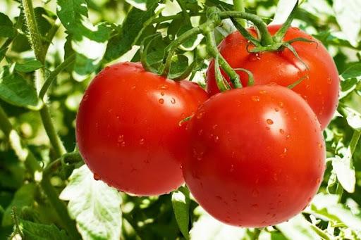 Сверх ранние сорта томатов