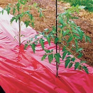Мульчирования томатов укрывным материалом