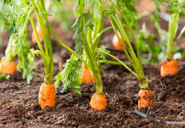 Сорта моркови для выращивания на подоконнике