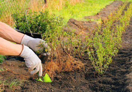 Как посадить живую изгородь