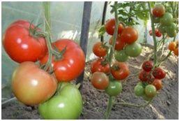 Способы ускорения дозревания томатов