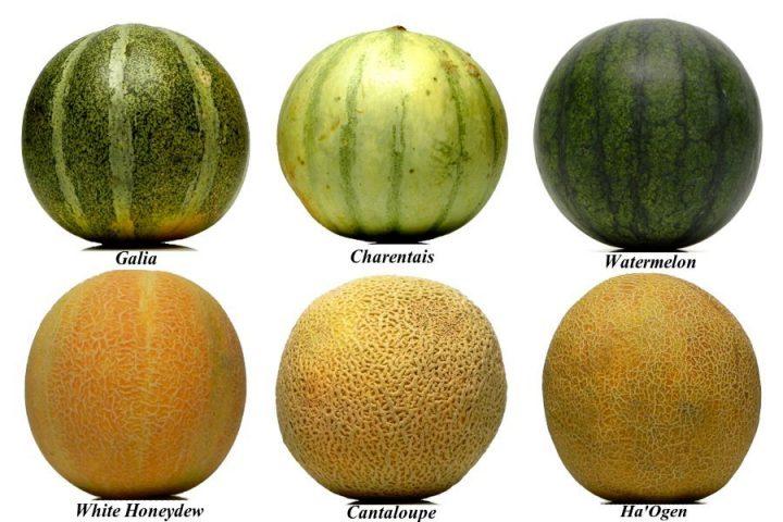 Разнообразие сортов дынь
