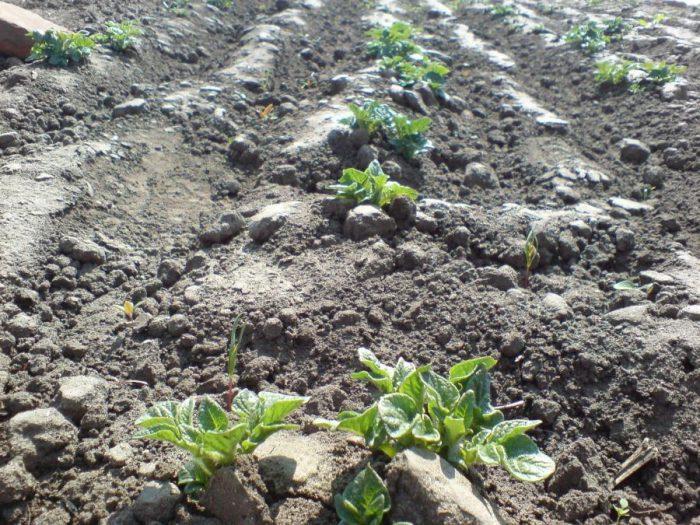 Сходы картофеля в огороде