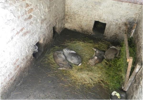 Особенности разведения кроликов в ямах