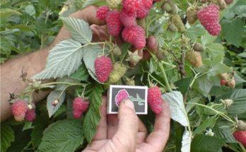 Сравнение ягод сортового малинового дерева