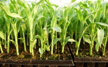 Рассада сладкой кукурузы