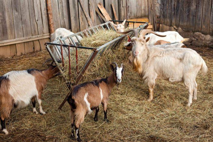 Кормушка в сарае для коз