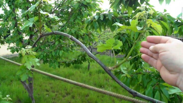 Весенние работы в винограднике