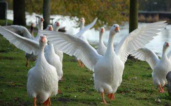 Гуси с расправленными крыльями