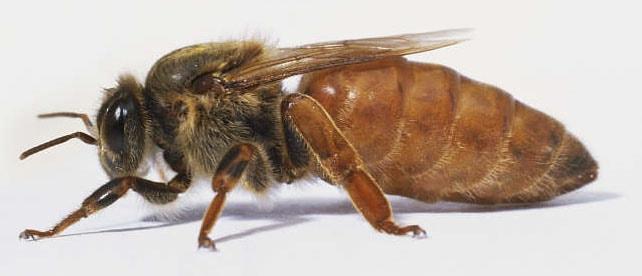 Пчелиная матка