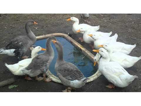 Откорм гусей и уток вместе
