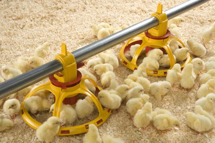 Кормление цыплят кур несушек