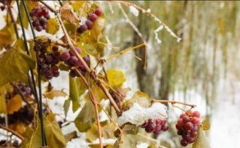 Укрытие и уход за виноградом на зиму