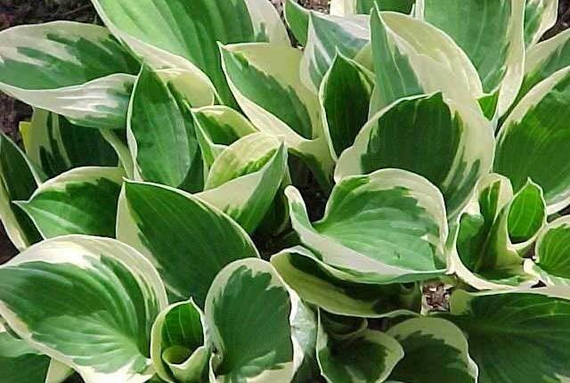 Курчавая хоста имеет интересные двухцветные листья